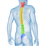 medical illustration of the spine sections